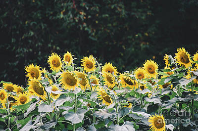 Photograph - Sunflowers 7 by Andrea Anderegg