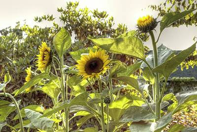 Photograph - Sunflowers 7 by Lawrence Christopher