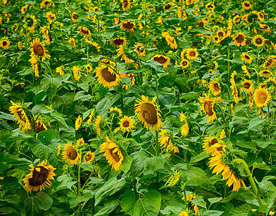 Photograph - Sunflowers 7 by Leah Palmer