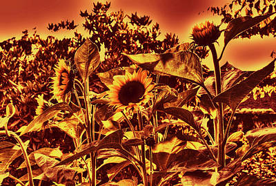 Summer Photograph - Sunflowers 7a by Lawrence Christopher