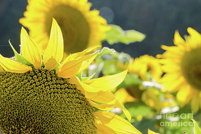Photograph -  Sunflowers 8 by Andrea Anderegg