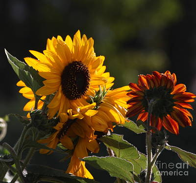 Sunflowers 8 Art Print by Marjorie Imbeau