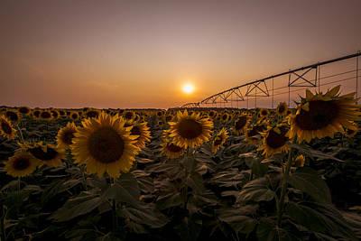 Sunflowers 822 Art Print