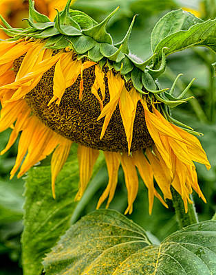Photograph - Sunflowers 9 by Leah Palmer