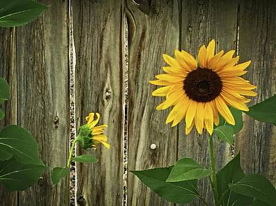 Photograph - Sunflowers Against Wooden Fence by Katie Wing Vigil