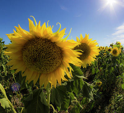 Photograph - Sunflowers by Alexis Lee Scott