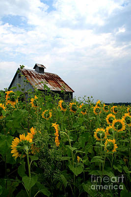 Photograph - Sunflowers Along Rt 6 by Paula Guttilla