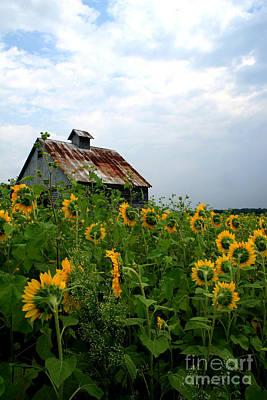 Sunflowers Along Rt 6 Art Print