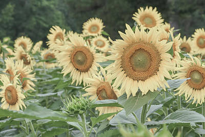 Photograph - Sunflowers by Amanda Rimmer