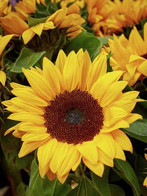 Photograph - Sunflowers. Amsterdam by Jouko Lehto