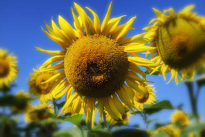 Yellow And Orange Sunflower Photograph - Sunflowers And A Blue Summer Sky by Georgia Fowler