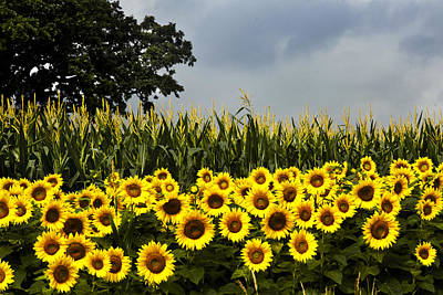 Photograph - Sunflowers And Corn Stalks by Richard Engelbrecht