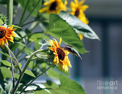 Photograph - Sunflowers And Hummingbirds by Cathy  Beharriell