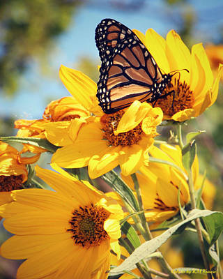 Photograph - Sunflowers And Monarch by Kathy M Krause