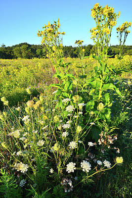 Photograph - Sunflowers And Queen Anne's Lace In Chain-o-lakes by Ray Mathis