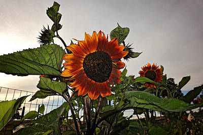 Photograph - Sunflowers And Storm by Amanda Smith