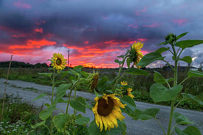 Photograph - Sunflowers And Sunset by Sandra Rugina
