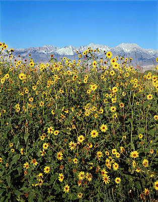 Photograph - 2a6741-v-sunflowers And The Sierra Nevada  by Ed  Cooper Photography