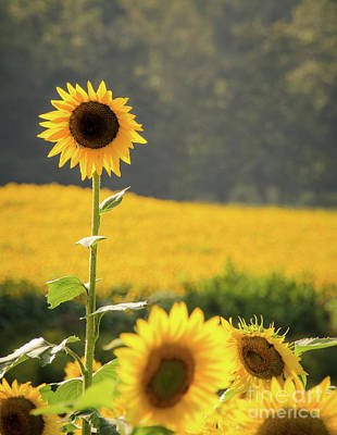 Photograph - Sunflowers by Andrea Anderegg