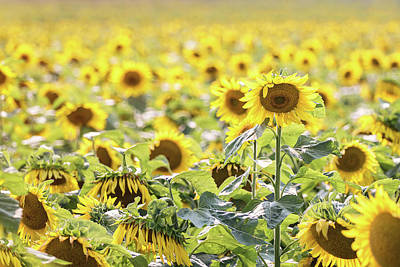 Photograph - Sunflowers by Angie Rea