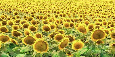 Photograph - Sunflowers At Sundown by Diana Raquel Sainz