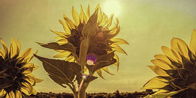 Photograph - Sunflowers At Sunrise by Garry McMichael
