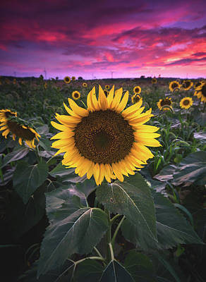 Sunflowers Royalty-Free and Rights-Managed Images - Sunflowers at Sunset by Cale Best