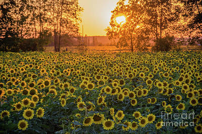 Photograph - Sunflowers At Sunset by Cheryl Baxter