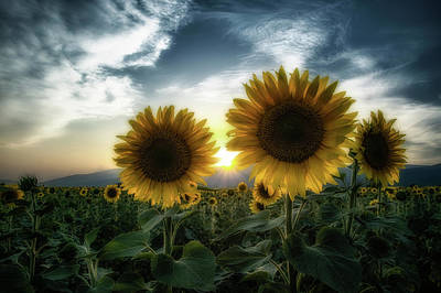 Photograph - Sunflowers At Sunset by Plamen Petkov