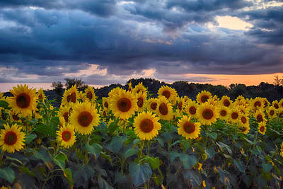 Photograph - Sunflowers At Sunset by Tricia Marchlik