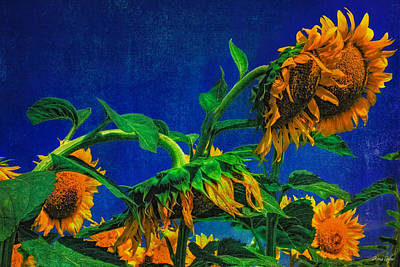 Photograph - Sunflowers Awakening by Anna Louise