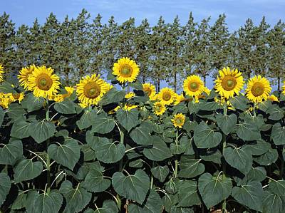 Tuscan Sunflowers Photograph - Sunflowers by Axiom Photographic
