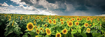 Photograph - Sunflowers Before The Storm by Mark David Zahn Photography