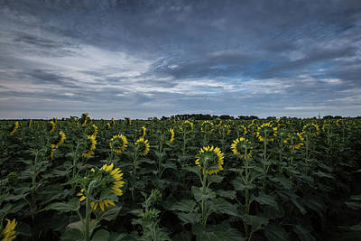 Photograph - Sunflowers Blue Skies by Chris Harris