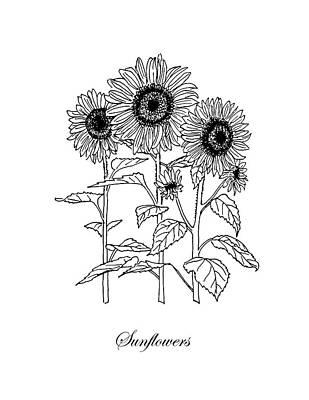 Sunflowers Drawings - Sunflowers. Botanical by Masha Batkova
