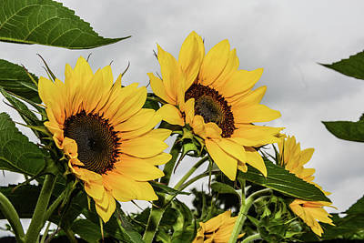 Photograph - Sunflowers Brighten A Cloudy Day by Tana Reiff