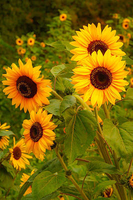 Lucille Ball - Sunflowers by Charlie Choc