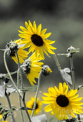 Photograph - Sunflowers Colorized by Toma Caul