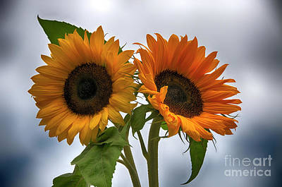 Photograph - Sunflowers by Compuinfoto