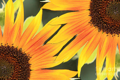 Bo Insogna Photograph - Sunflowers Corners by James BO  Insogna