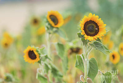 Photograph - Sunflowers Delight by Eva Lechner