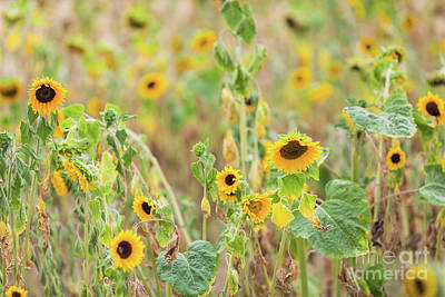 Photograph - Sunflowers Field by Eva Lechner