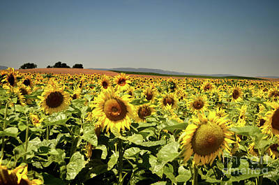Photograph - Sunflowers Field by Michelle Meenawong