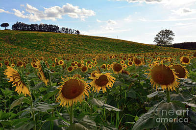 Photograph - Sunflowers Fields  by Frank Stallone