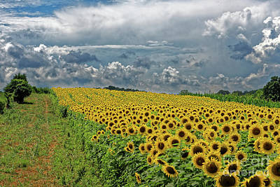 Photograph - Sunflowers Forever by Paul Mashburn