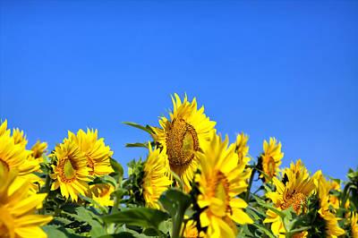 Sunflowers Art Print by Gary Smith