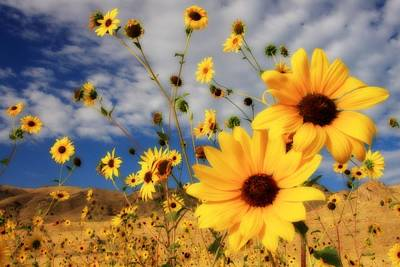 Photograph - Sunflowers by Gene Praag