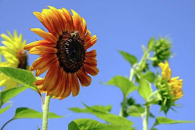 Photograph - Sunflowers by Glenn DiPaola
