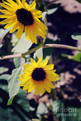 Floral Photograph - Sunflowers by Gloria Pasko