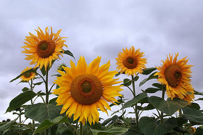 Photograph - Sunflowers Here Comes The Sun by Gill Billington